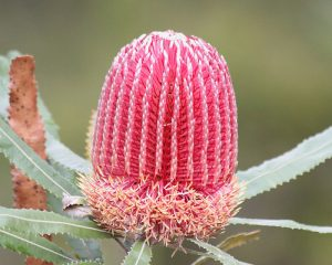 Native Western Australian plants for your garden