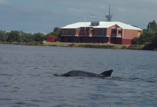 Dolphin on the hunt for fish off Waterford.